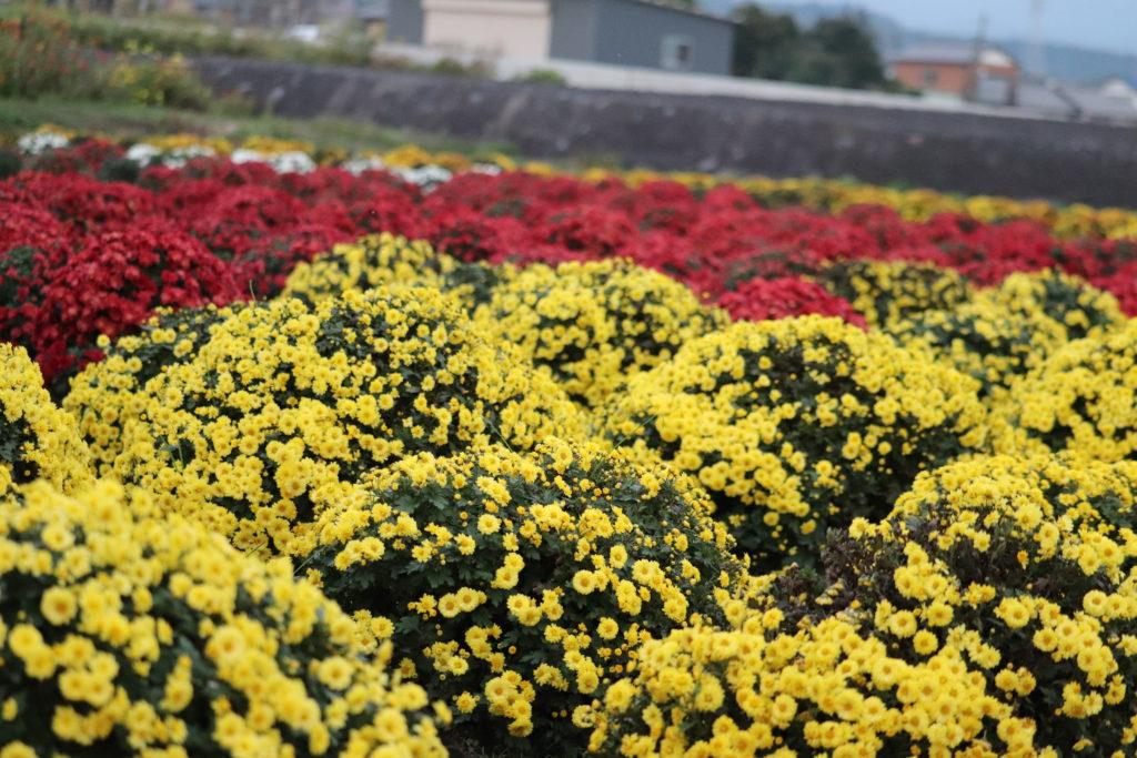 南条の里【ざる菊】と富士山~富士宮下条~